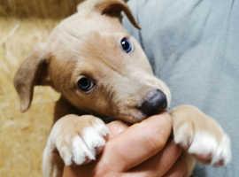 Blue Whippet X Greyhound/Collie Puppies