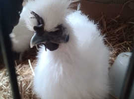 Friendly silkie 14 week old roo