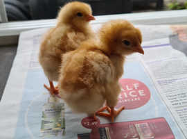 Female 3 day old chicks