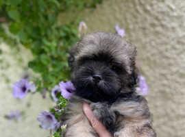 Beautiful Teddy Bears Lhasa Pom x Havanese Puppies