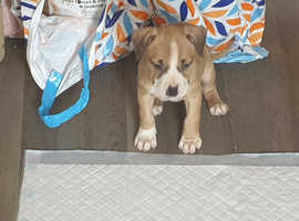 Amstaff female pup