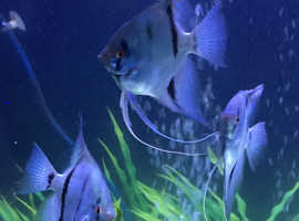 Angel fish rare blue zebras