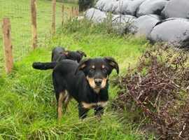 Huntaway Pups