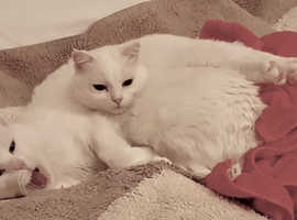 Turkish Van Cat Senia (1.7 years old) and Her Best Friend Sonia (2 year 8 months) For Sale £295
