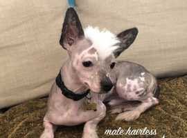 Beautiful Chinese Crested dogs for sale in Newry N. Ireland