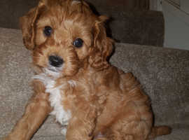 Toy f1 Cavapoo pups health tested parents