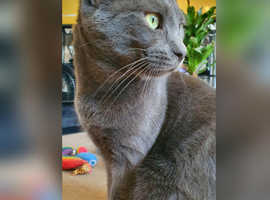 Russian Blue for stud