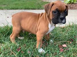 excellent top quality Boxer pups