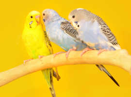 Baby budgies for sale,4