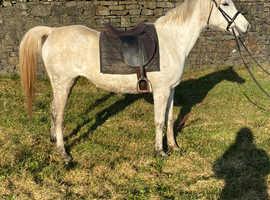 Amazing 14.2 Arab mare