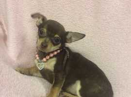 Gorgeous Chocolate & Tan Chihuahua X Miniature Pinscher Mini Pin Chipin Boy Puppy