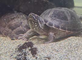 4 musk turtles