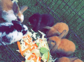 French lops