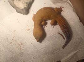 4 leopard geckos for sale