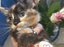 Ragdoll cross kitten little girl