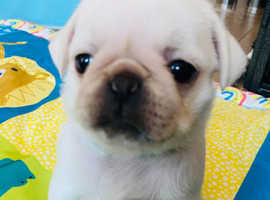 Kc reg white carrying cream and blue female pug puppy