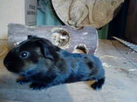 Boy guineas