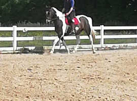 Sport horse available for loan