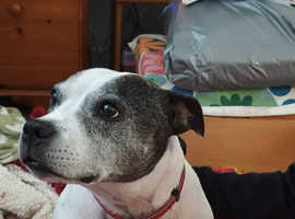 Foster and forever homes urgently needed for rescue staffies