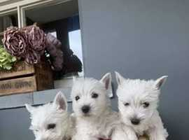Gorgeous westie boys looking for a loving home