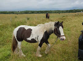 3 year old Cob mare