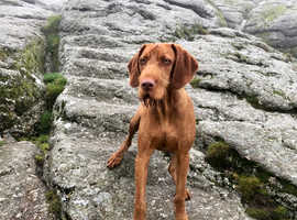 Wirehaired Vizsla for Stud