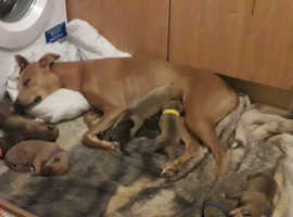 Beautiful greyhound x puppies