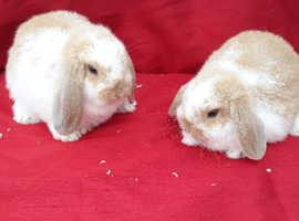 Mini lop rabbits ready now
