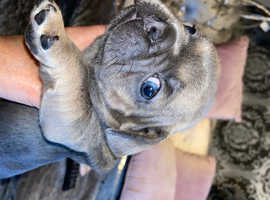 French bulldog blue fawn kc registered