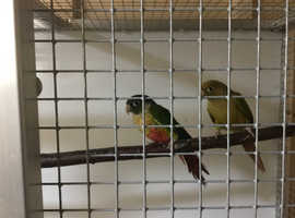 Pinapple conures for sale