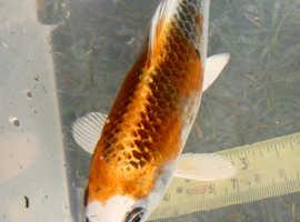 "7"" Koi Carp Fish"