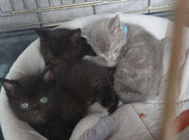 One Russian black kitten Available