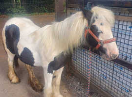 12 month old black and white filly cob