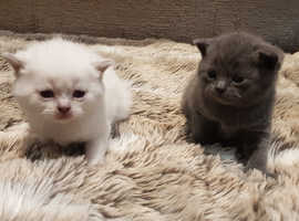 British short hair kittens for sale.