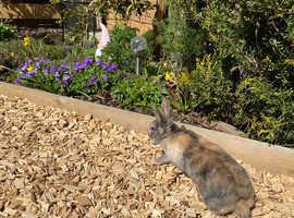 2x male Netherland dwarf bunnies