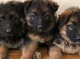 8 German Shepherds available