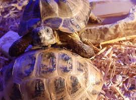 Three tortoises and full set up