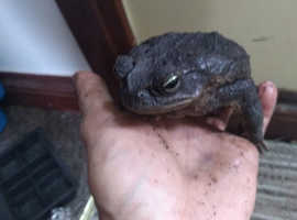 Two marine or cane toads for sale