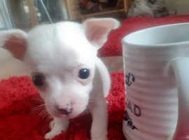 White tea cup pups for sale