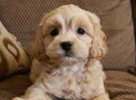 COCKAPOO PUPPY WANTED !!