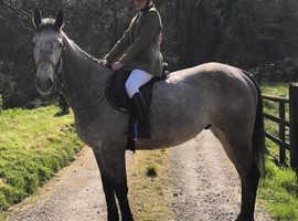 Rose grey gelding