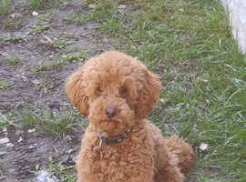 Proven Red Toy Poodle Stud Dog (Health Tested)