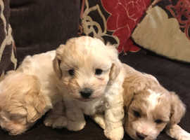 Beautiful F1 Multipoo puppies