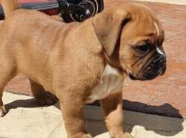 Boxer x British bulldog pup