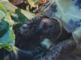 Large Horsefield Tortoise and Viv