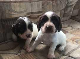 Springer spanile pups