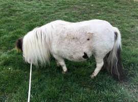 Lovely little piebald mare