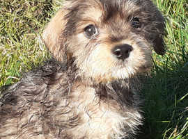 Schnauzer x pups for sale