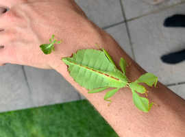 Leaf insects.