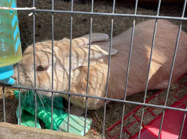 Male rabbit with hutch for rehome